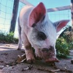 Rescued Pig Molly Brown Sunnyside Hanne